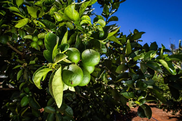 O Brasil é o maior produtor de frutas cítricas.  Citros de qualidade depende da eficácia no campo