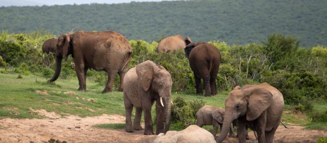 Mundo animal: elefantes africanos mostram sua fúria em dois episódios da semana